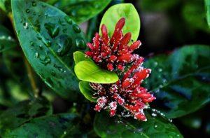 Jatropha integerrima, Common Name: Peregrina (Ger.) Indigenous to Greater Antilles (Cuba, Hispaniola)
