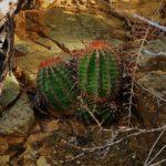 Genus Melocactus -Turk's Cap